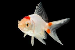 witte goudvis op zwarte achtergrond
