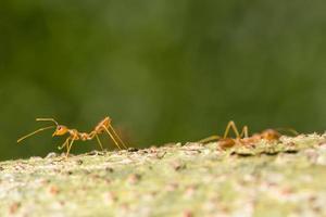 rode mieren op een boom