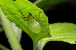 groene snuitkever op een blad foto