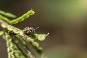 roofzuchtige stankwants op een plant