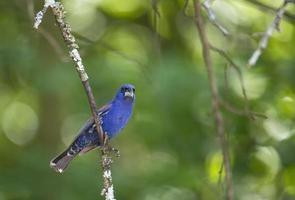 mannelijke blauwe kardinaal klauwen boomtak