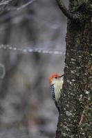 roodbuikige mannelijke specht op boomstam foto