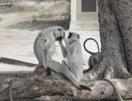 apen die elkaar verzorgen foto