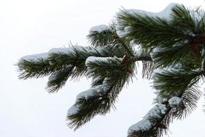 naaldboomtakken met naalden en sneeuw in de winter