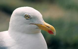 close-up van zeemeeuw hoofd