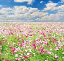 gebied van kosmosbloemen en hemel