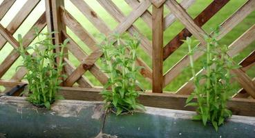groene planten met een hek foto