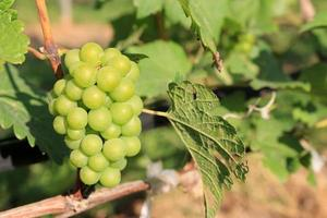 groene druiven en bladeren foto