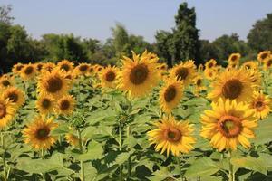 zonnebloem veld op blauwe hemel foto
