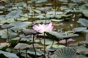 roze en witte lotus foto