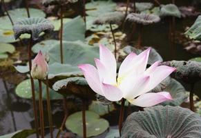 witte en roze lotus foto