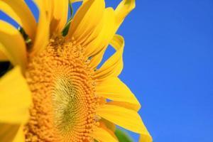 mooie zonnebloem voor achtergrond foto