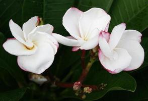 roze en witte plumeria