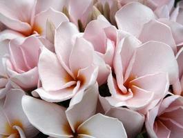 roze en oranje frangipani