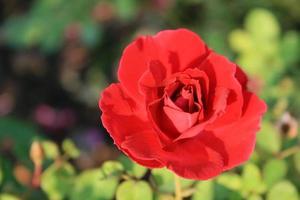 close-up van een rode roos foto