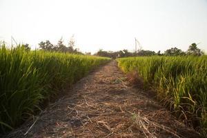 padieveld in Thailand foto