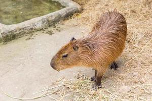 capibara op de grond foto