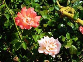 bloemen buiten in de tuin foto