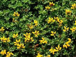 gele bloemen in de buitentuin foto