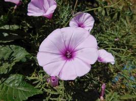 paarse bloem in de tuin foto