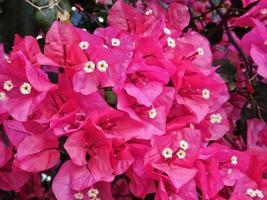 roze bloemen in de tuin foto