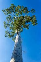 weergave kijken naar hoge boom met blauwe lucht foto