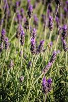 weelderige lavendel gedurende de dag foto