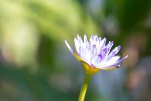 blauwe lotus bloeien