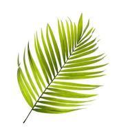 enkele kokosnoot boom blad foto