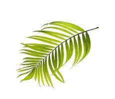 lichtgroen palmblad op witte achtergrond foto