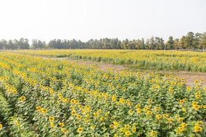 zonnebloemen op het veld