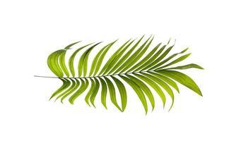 geïsoleerde kokosnoot blad