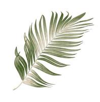 droog palmblad foto