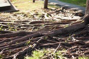 wortels van een boom in Thailand foto
