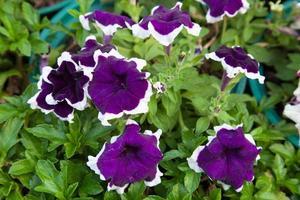 kleine paarse bloemen