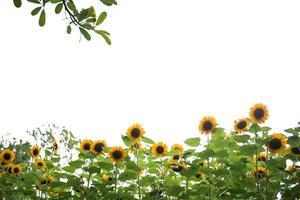 foto van een zonnebloem veld