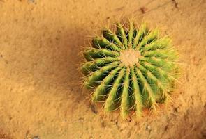 gouden vatcactus