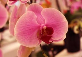 roze en paarse orchidee foto