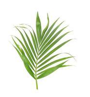 palmboom gebladerte foto