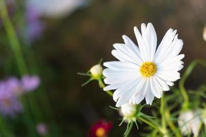 madeliefje bloem bloeien foto