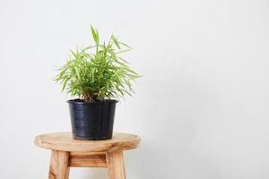 bamboe in pot foto