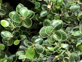 wasachtige groene bladeren foto