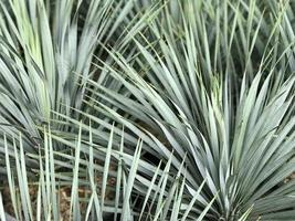 scherpe bladeren van een palmboom foto