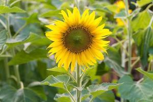 zonnebloem op het veld foto