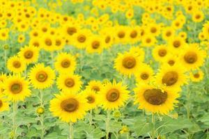 zonnebloemen op het veld foto