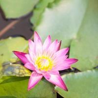 lotusbloem in de vijver