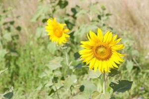 zonnebloemen op een veld