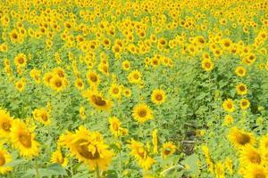 zonnebloem ingediend in Thailand foto