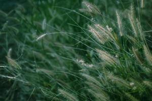 groen onkruid met witte bloemen foto