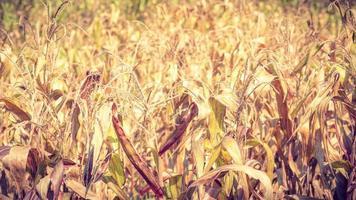 gedroogd maïsveld